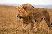 Львы проникают в Найроби из местного заповедника. // iStockphoto / Francois6