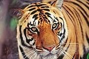 Власти Индии решили, что туризм мешает тиграм. // ALAMY