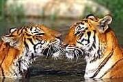 Власти пытаются защитить тигров. // interactivejungle.com