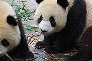 Тянь-Тянь и Ян-Гуан награждены за то, что они такие милые. // dailywhat.org.uk