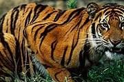 Бенгальские тигры в безопасности. // zoologist.ru