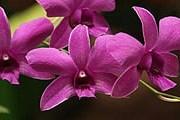 Орхидея, растущая на Шри-Ланке. // Travel.ru