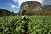 Туристы посетят табачные плантации. // dailymail.co.uk