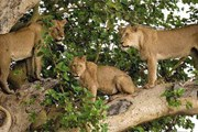 Туристы смогут лишь смотреть на диких животных. // classicafrica.com