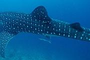 Изучение акул поможет спасти их от вымирания. // maldiveswhalesharkresearch.org