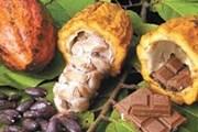 Экскурсия о какао - одна из самых интересных в Эквадоре. // buenolatina.ru