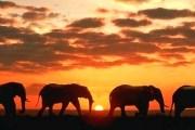 Миграция слонов - редкое явление в наши дни. // Getty images