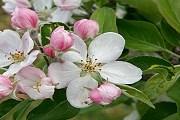 В парках Вашингтона расцветут сотни яблонь. // appleblossom.org