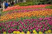 В Оттаве расцветут тюльпаны 50 сортов. // ottawafestivals.ca