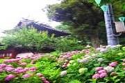 Тысячи гортензий распустятся в Токио в июне. // gotokyo.org