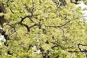 Цветы саловых деревьев считаются священными. // Geeta Samant