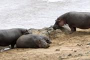 Туристы смогут покормить гиппопотамов. // Serge Vero, Shutterstock.com