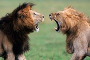 Львы в парке Кора // 8thingstodo.com