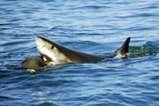 Акула снова напала на человека. // usnews.com