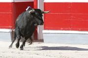 Забеги с быками уходят в прошлое.  // Valeniker, Shutterstock.com