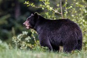 Медведи могут быть опасны.  // Menno Schaefer, Shutterstock.com