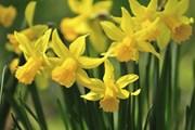 В марте зацветут нарциссы.  // KPG Payless2, Shutterstock.com
