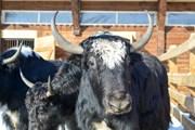 Животные ждут встречи с туристами.  // belokurikha.ru