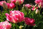 Весна - время тюльпанов.  // Jina Lee, Wikipedia