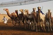 Верблюжьи бега - традиционное развлечение эмиратцев. // Департамент по развитию туризма Рас-Аль-Хаймы