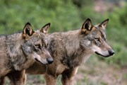 Иберийские волки - исчезающий вид. // terry.photoshelter.com