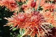 Хризантемы 240 сортов распустятся в Никитском ботаническом саду. // nikitasad.ru