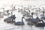 Праздник посвящен прилету лебедей на зимовку.