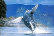 Длина китов достигает 18 метров. // bluebayresorts.com