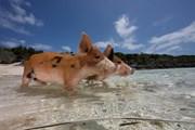 Водоплавающие свиньи - достопримечательность Багамских островов. // udivitelno.com