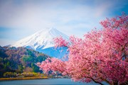 Цветение сакуры привлекает в Японию множество туристов. // Gismeteo.ru
