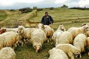 Гости могут помогать пастухам на горных пастбищах. // georgianjournal.ge