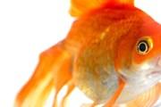 Рыбка-компаньон призвана скрасить одиночество постояльца. // BBC.com