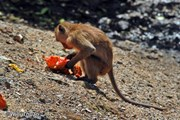На Пхукете слишком много диких обезьян. // phuket101.net