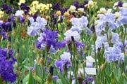 В саду одновременно цветут тысячи ирисов. // toscanamore.info