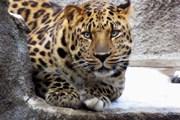 Понаблюдать за кошачьими посетители зоопарка смогут вечером. // nat-geo.ru