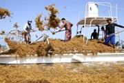 Огромные поля саргассума дрейфуют в Карибском море. // gotomexico.mx