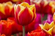 Сотни тысяч тюльпанов растут в двух итальянских весенних садах.